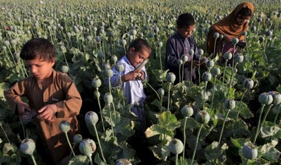 As opium cultivation rises in Afghanistan, children are recruited by drug dealers